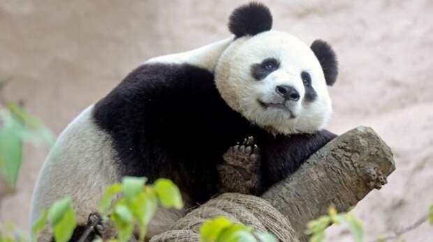 Панды из Московского зоопарка отметили дни рождения с лакомствами и подарками