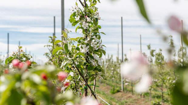В Крыму расцвел экспериментальный яблоневый сад КФУ