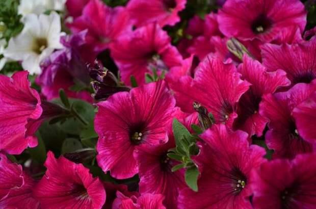 Петунии флорибунда — обильноцветущие растения с довольно крупными цветками