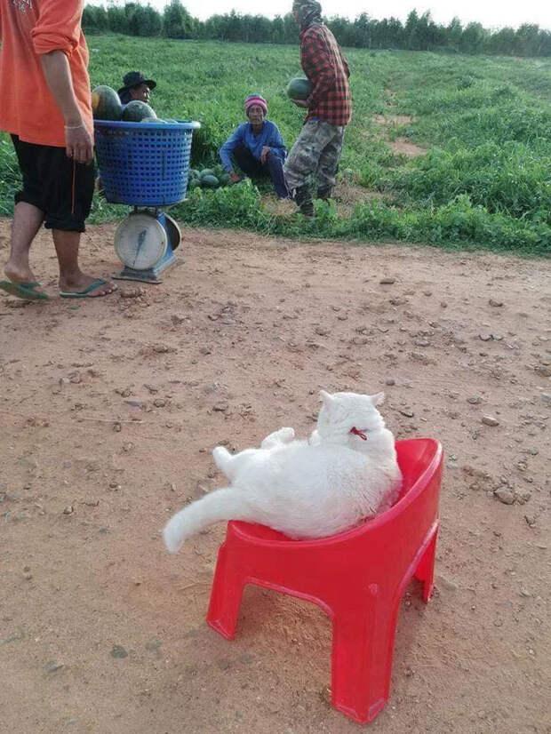Сердитый кот работает охранником арбузов вТаиланде