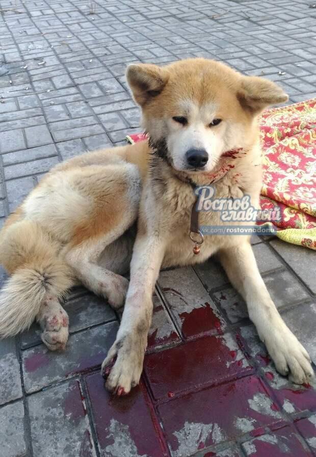 жители Ростова провели масштабную операцию по спасению сбитой на дороге собаки