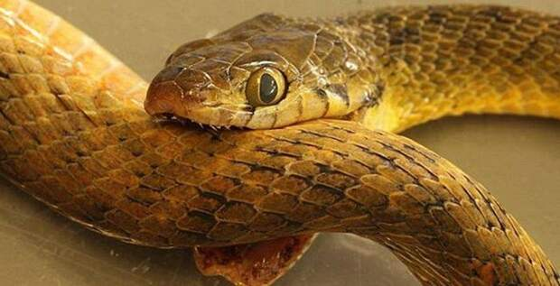 Что случится, если ядовитая змея укусит сама себя?