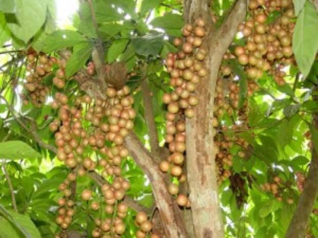 Бирманский виноград
