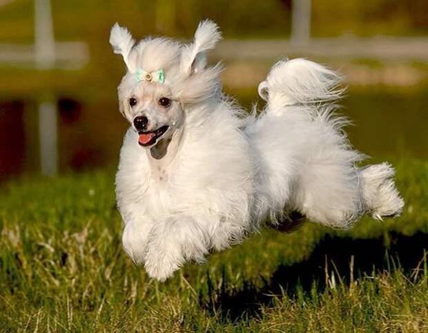 Китайская хохлатая собака больших, бульдог, до маленьких, питомец, породы, собак, такса