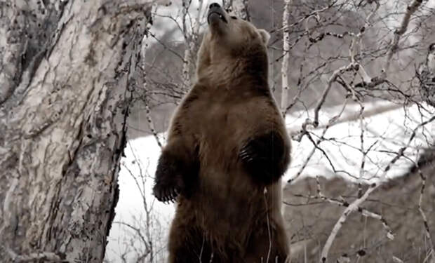 Медведица пришла просить помощи у человека, ее медвежонок запутался в рыболовных сетях в реке