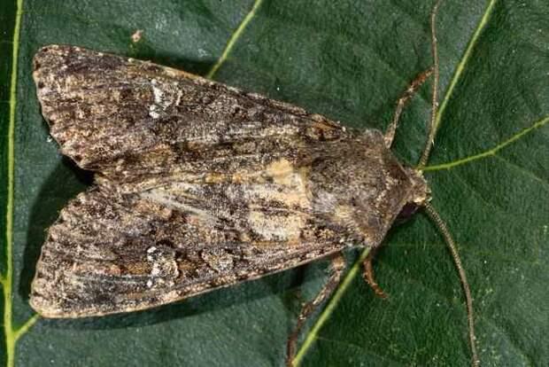 совка - бабочка вредитель