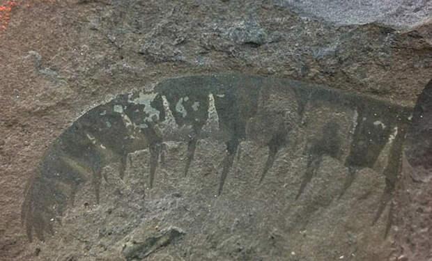 Ученые нашли доисторическую акулу с бивнями, которая плавала 500 миллионов лет назад