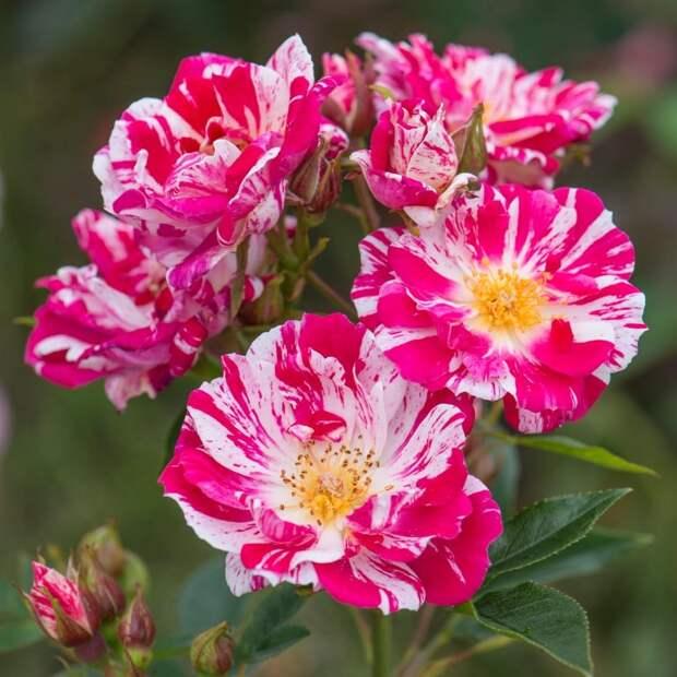 Разноцветные розы Stars n'Stripes