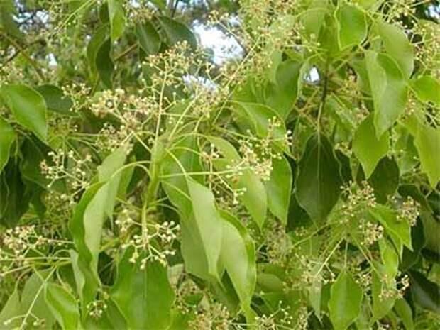 Цветет камфорное дерево