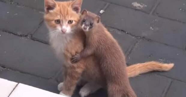 Сеть покорила удивительная дружба котенка и ласки