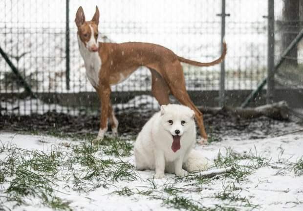 Снежный лис, которого выращивали на убой на звероферме, впервые радуется снегу