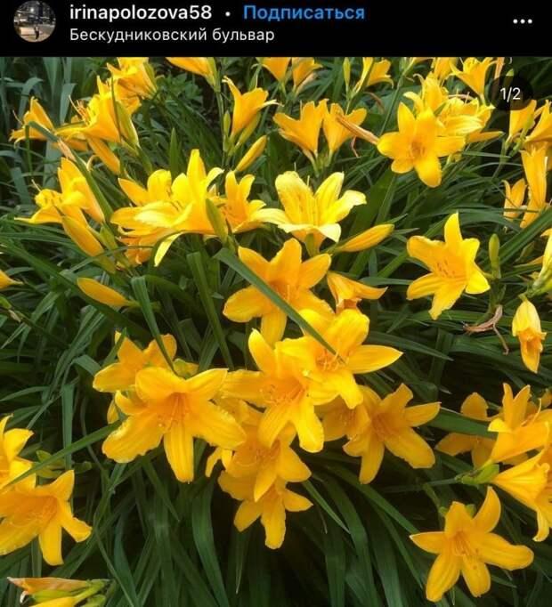 Фото дня: цветение лилейников на Бескудниковском