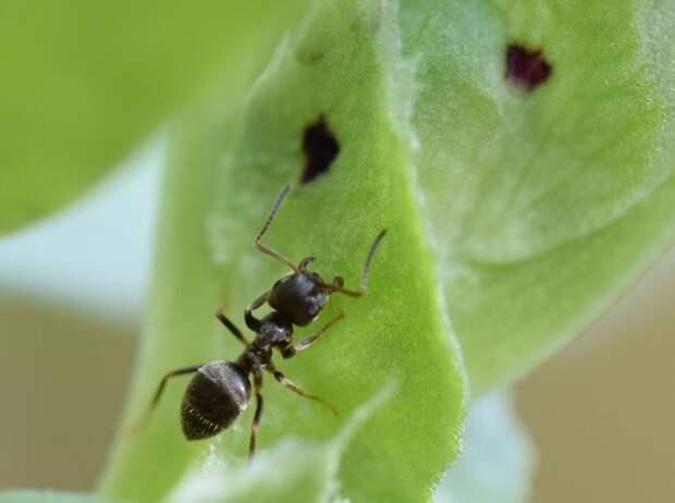 Сода даст пинка тепличным муравьям!