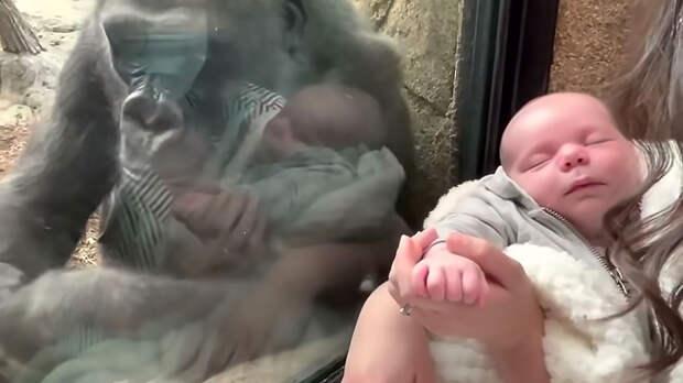 Горилла нашла общий язык с человеческим младенцем: видео