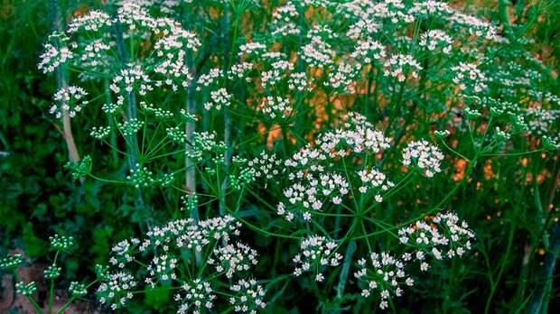 Лекарственное растение Анис (Pimpinella anisum)