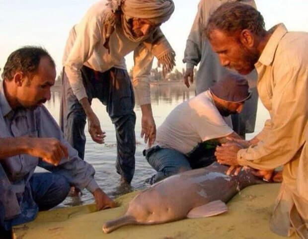 Сусук: Ужасные слепые дельфины помойных рек Индии Дельфин, Крокодил, Эволюция, Длиннопост
