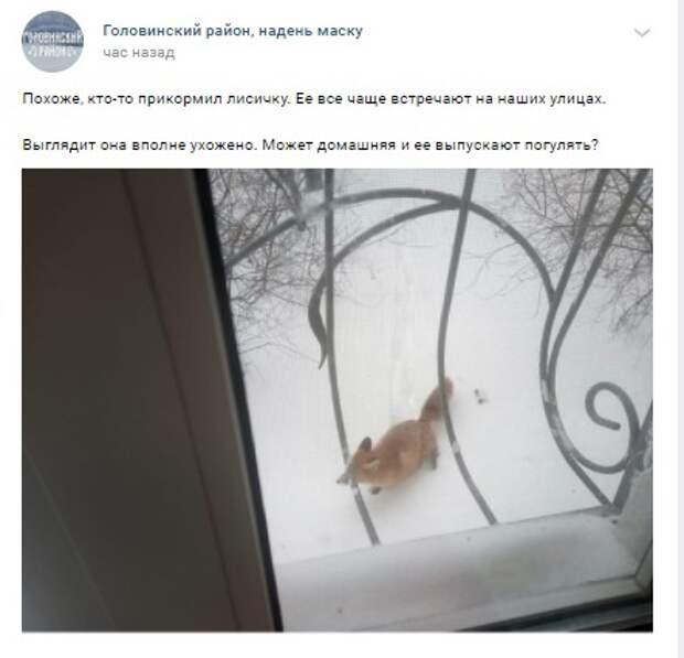 Фото дня: лисица гостит в Головинском