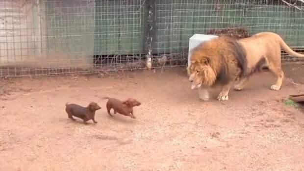 Две таксы взобрались на загон огромного льва. Невероятная дружба между зверями