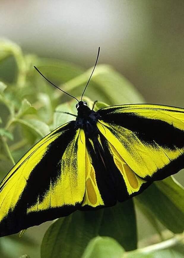 А бабочка крылышками - бяк-бяк-бяк-бяк бабочки, интересное, красота, насекомые