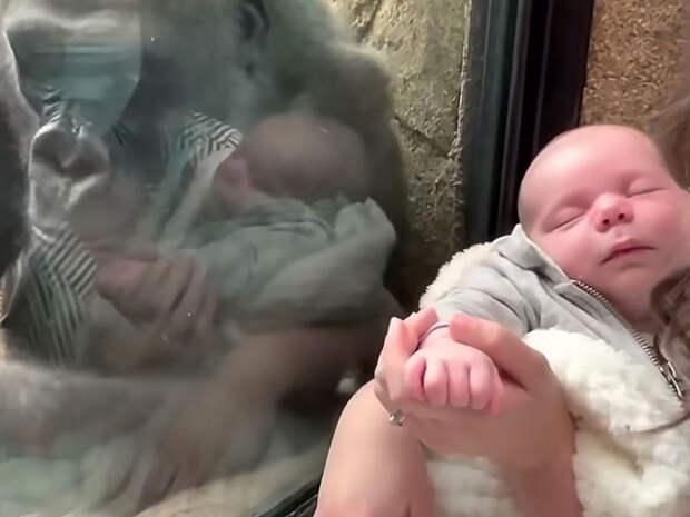 Видео с гориллой, желающей понянчить младенца, набирает популярность в Сети