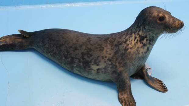 «Друзья балтийской нерпы» приютили двух малышей тюленей
