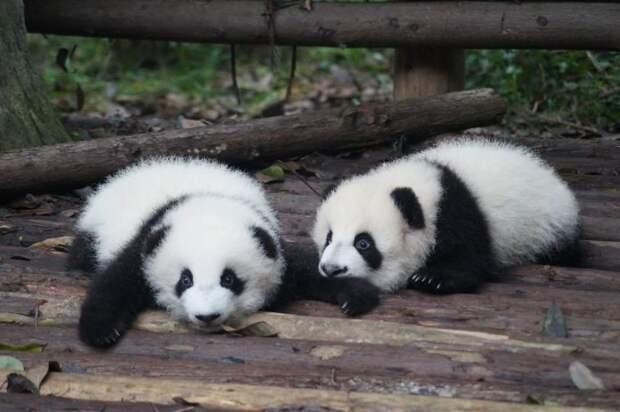 Зачем панды выбрасывают второго детеныша?