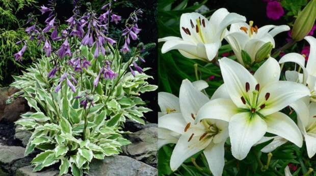 Хоста и лилия