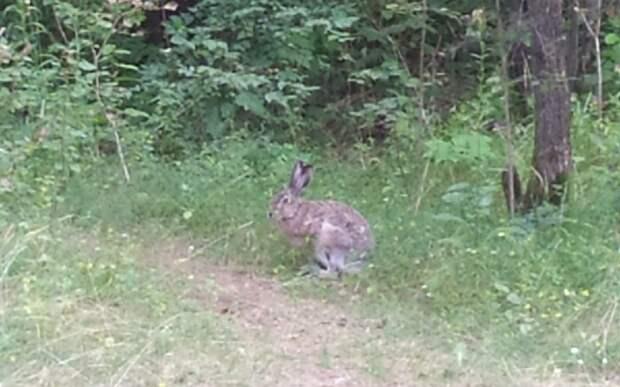 Заяц-русак пробежался по тропинке в Серебряном Бору