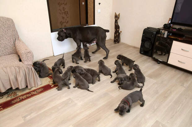В Воронеже собака родила сразу 19 щенков!