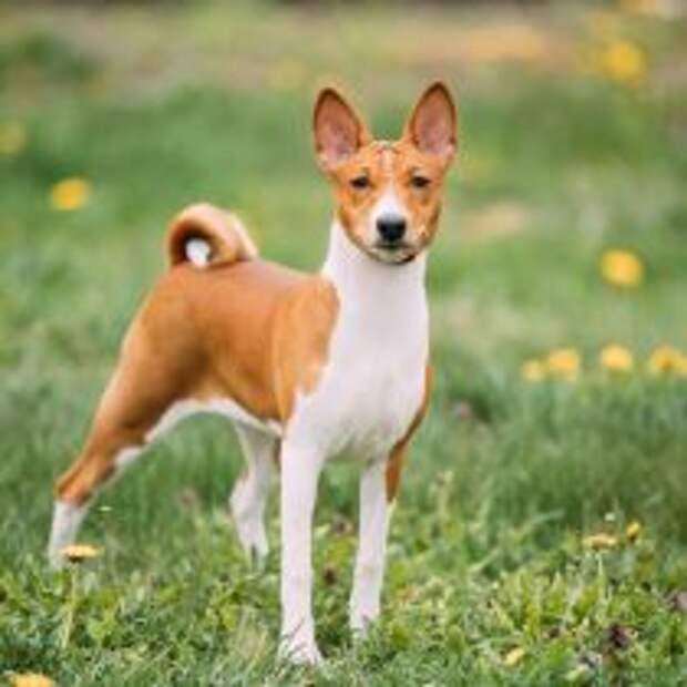 Басенджи (африканская нелающая собака)