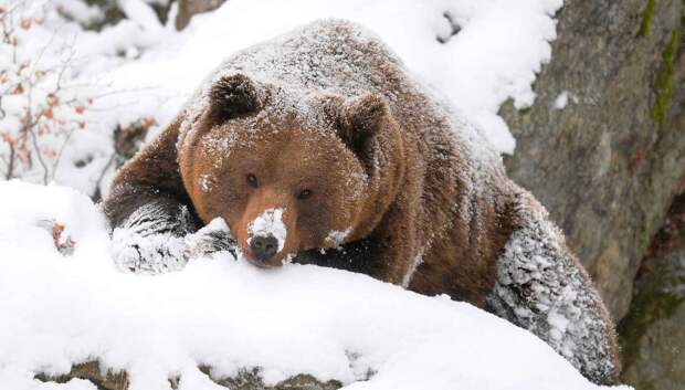 Медведь готовится к спячке