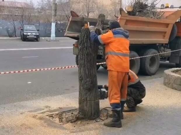 Предприниматель в Чите высадит 21 дерево рябины вместо спиленных тополей за свой счёт