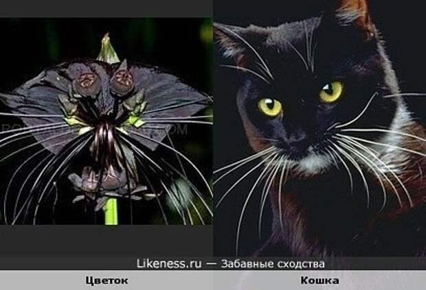 Цветок «летучая мышь»