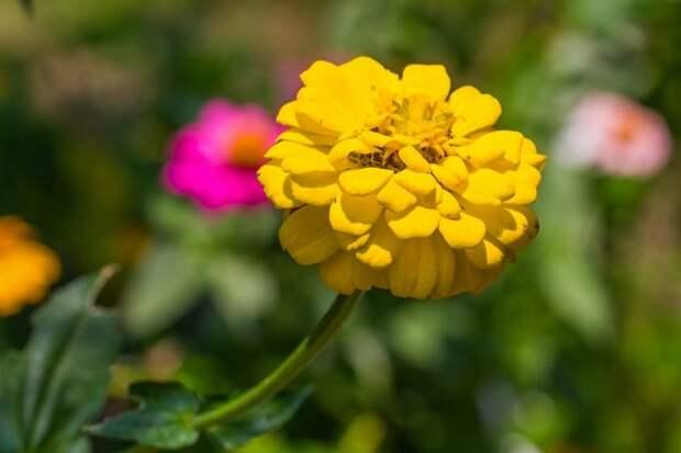 Close up of yellow zinnia (Zinnia violacae Cav.) flower