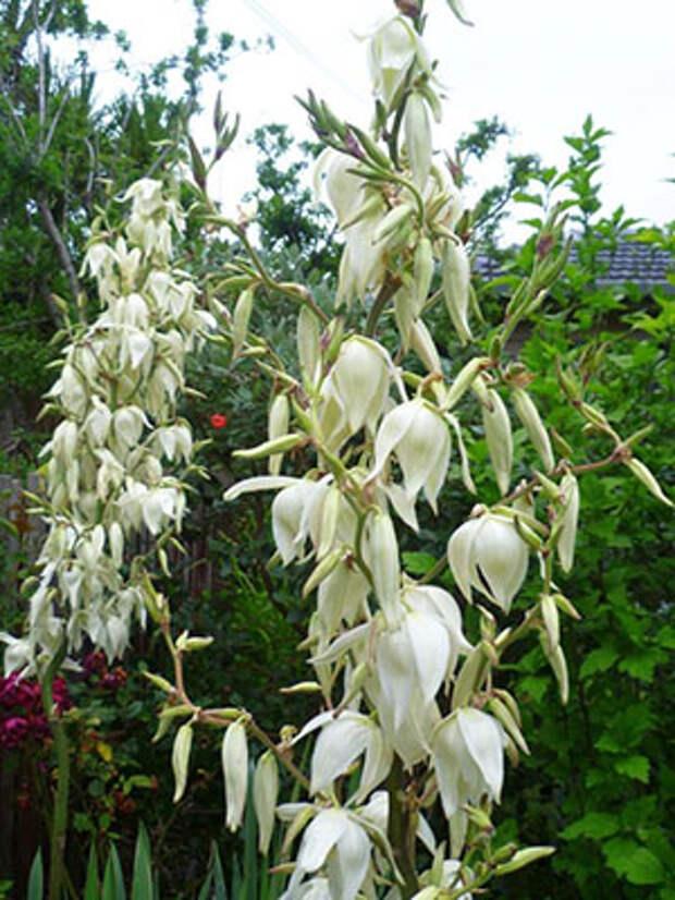 На 3-4 год растение порадует своим цветением