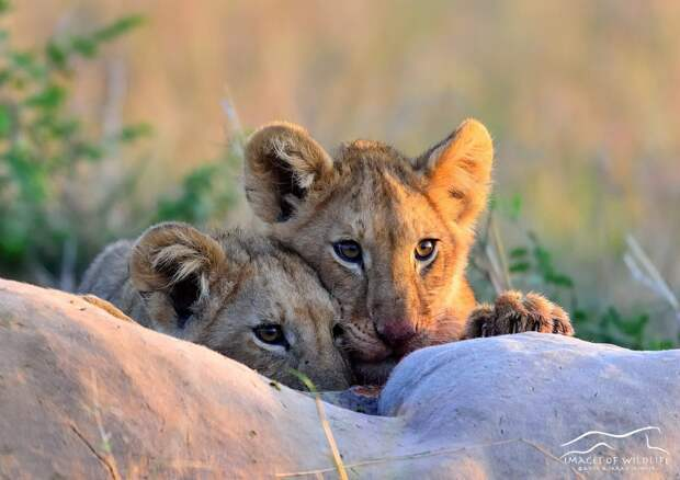 African Lion 069