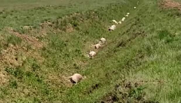 Более 300 голов сайги в ЗКО могли погибнуть от удара молнии - эксперт