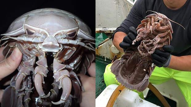 Гигантский изопод, обнаруженный в Индийском океане. Фото: LKCNHM