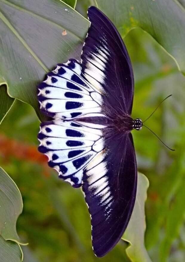 Некоторые бабочки в тропиках питаются исключительно слезами животных бабочки, интересное, красота, насекомые