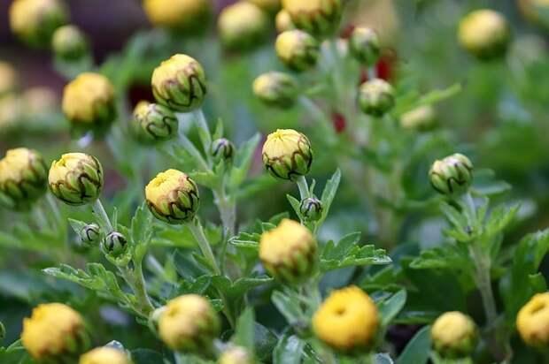 хризантемы против паутинного клеща
