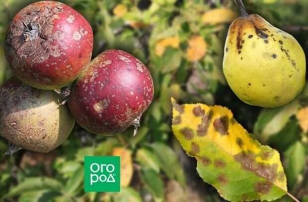 Зимние груши – самые урожайные сорта