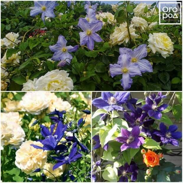 Желтые розы и синие клематисы