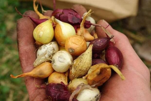 Выбор сорта и подготовка лука к посадке