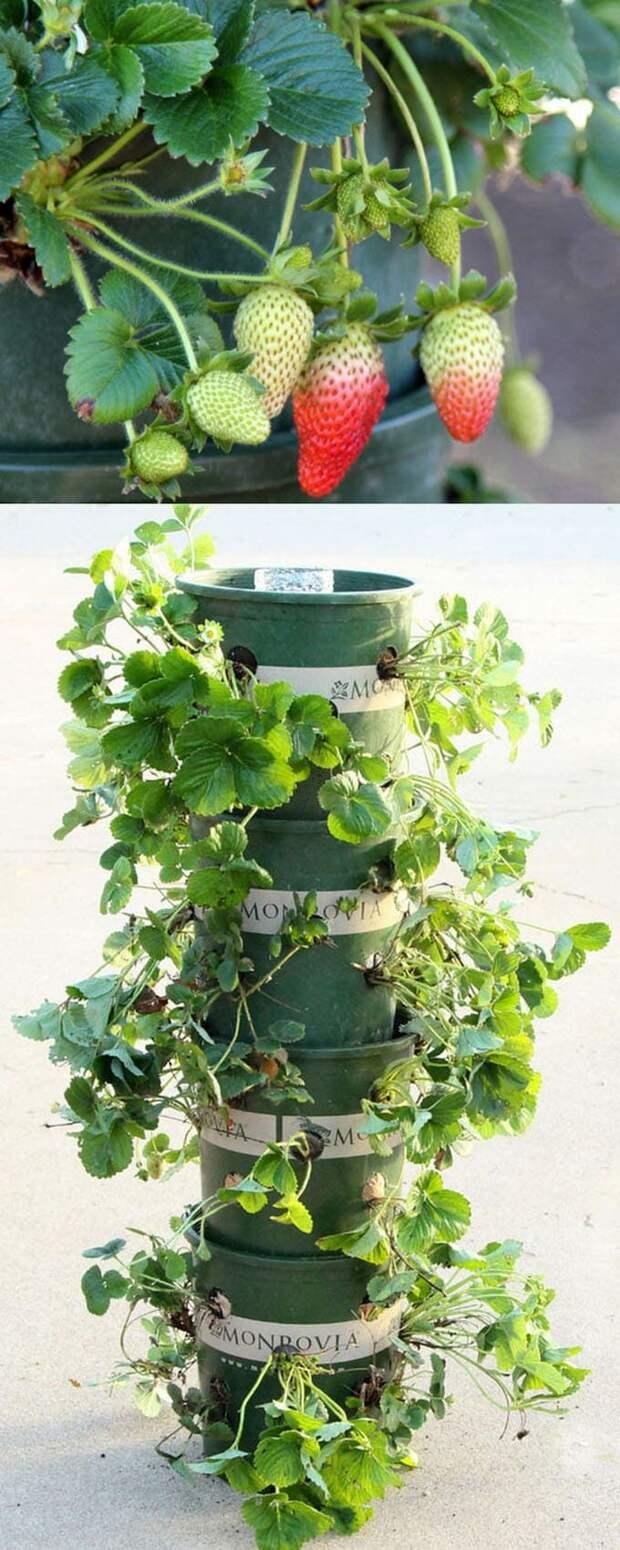 Клубничная башня — щедрый урожай не займет и квадратного метра
