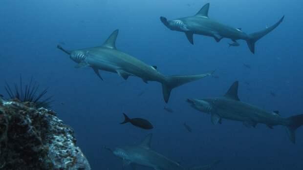Ученые из США выяснили, как акулы ориентируются при миграции на большие расстояния