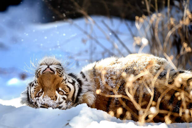 Амурский тигр в штате Колорадо