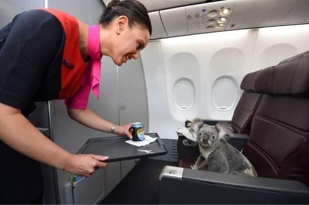 Коала в первом классе. Сервис соответствующий! животные, забавно, летайте самолетами, мило, пассажиры, самолет, собаки, хвостатые пассажиры