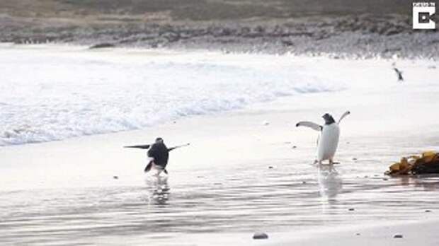 Веселый пингвин, страдающий гидрофобией