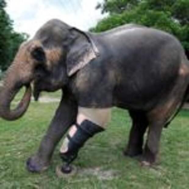 Слонихе Моше сделали девятый уникальный протез ноги