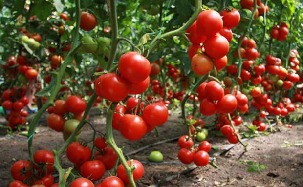 Как сажают помидоры в Китае: рассаду черенкуют, и урожай приходит на месяц раньше